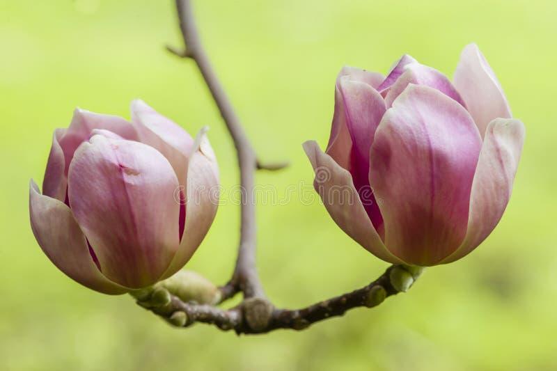 Flor rosada de la magnolia fotografía de archivo libre de regalías
