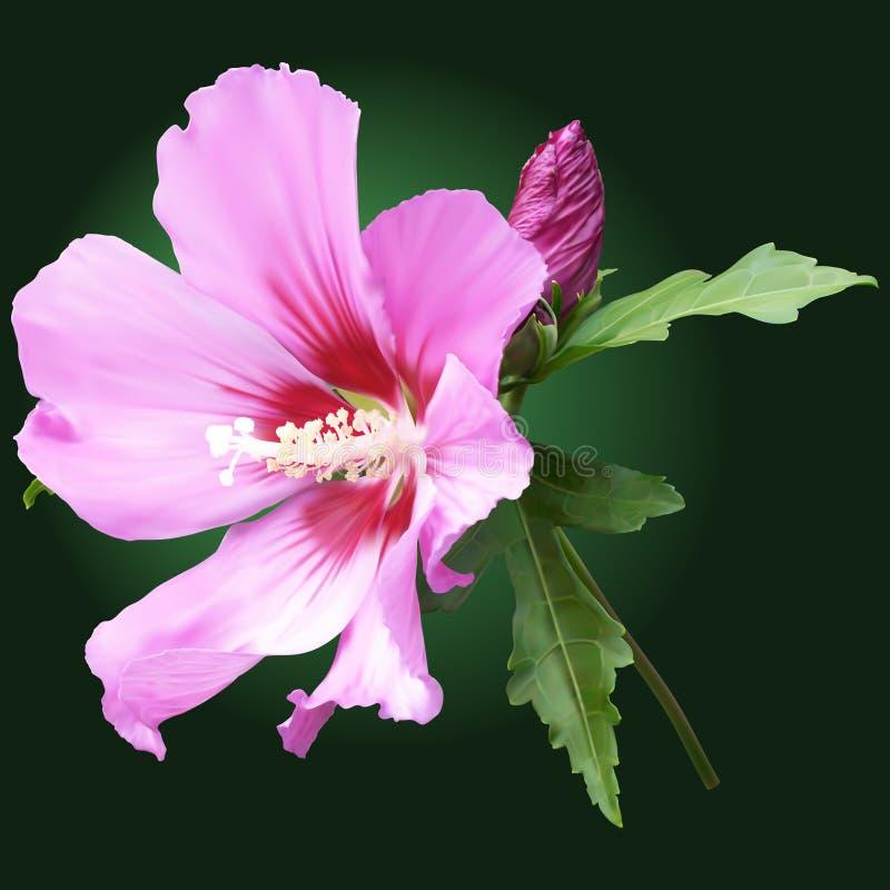Flor rosada de la malva con los brotes ilustración del vector