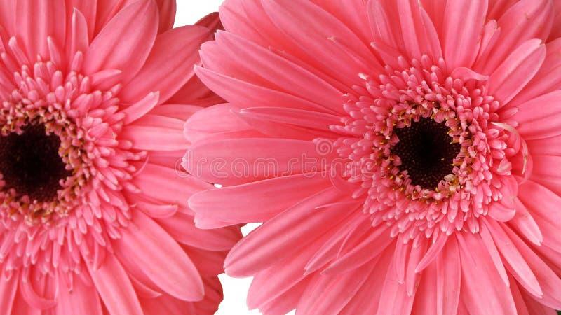 Flor rosada de la margarita imágenes de archivo libres de regalías