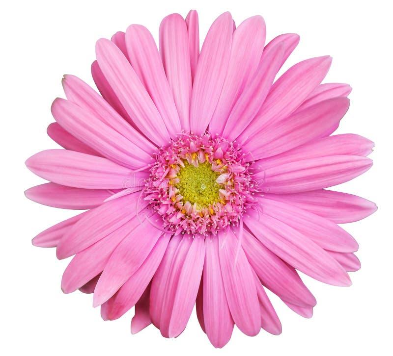 Flor rosada de la margarita del gerbera aislada en el fondo blanco imagen de archivo libre de regalías