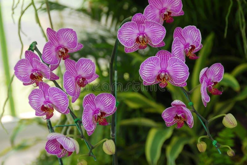 Flor rosada de la orquídea de polilla imágenes de archivo libres de regalías