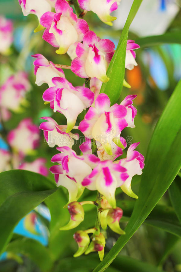 Flor rosada de la orquídea en la naturaleza fotografía de archivo libre de regalías