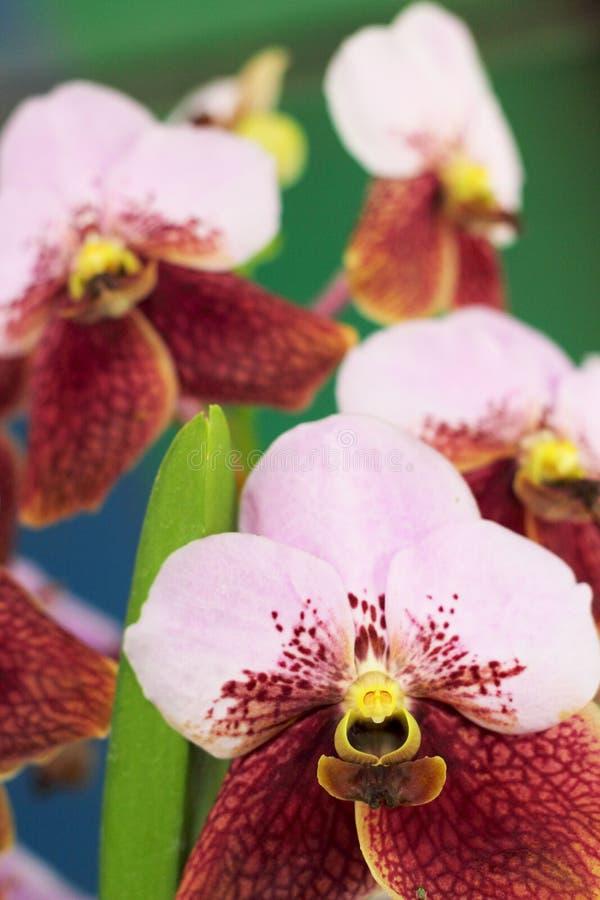 Flor rosada de la orquídea en la naturaleza foto de archivo