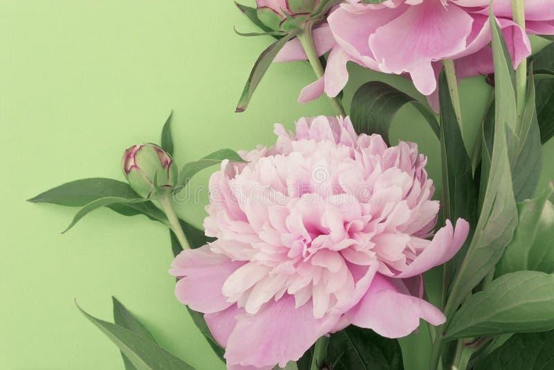 Flor rosada de la peonía en fondo verde con el espacio de la copia para el greeti fotografía de archivo