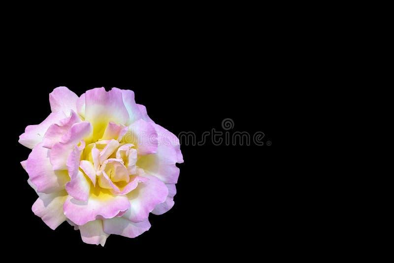 Flor rosada de la rosa del amarillo aislada en fondo negro con la trayectoria de recortes y el espacio de la copia imágenes de archivo libres de regalías
