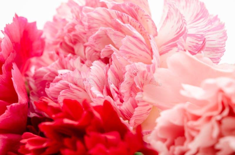 Flor rosada de los claveles fotografía de archivo libre de regalías