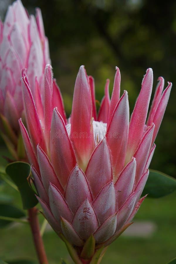 Flor rosada de los Proteas imagen de archivo