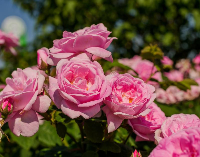 Flor rosada de Rose con las gotas de agua en las flores rosadas de las rosas del fondo imagen de archivo