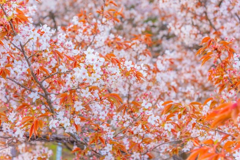 flor rosada de Sakura y x28; blossom& x29 de la cereza; en Jap?n foto de archivo libre de regalías
