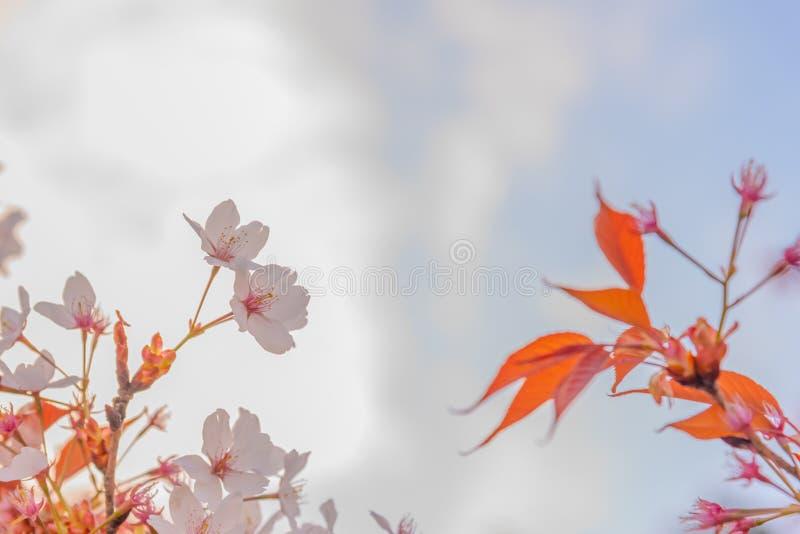 flor rosada de Sakura y x28; blossom& x29 de la cereza; en Jap?n fotos de archivo libres de regalías