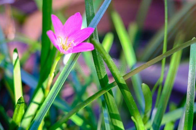 Flor rosada de Zephyranthes, cierre para arriba, nombres comunes para las especies adentro imagenes de archivo
