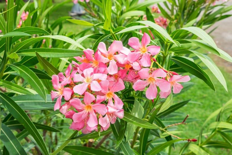 Flor rosada del adelfa, adelfa L, Apocynaceae del Nerium foto de archivo