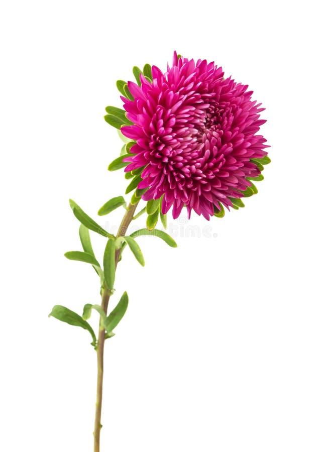 Flor rosada del aster en un fondo blanco imágenes de archivo libres de regalías