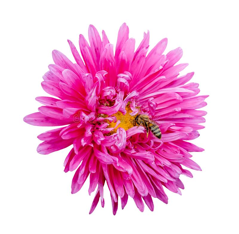 Flor rosada del aster y una abeja en un background_ aislado blanco fotografía de archivo