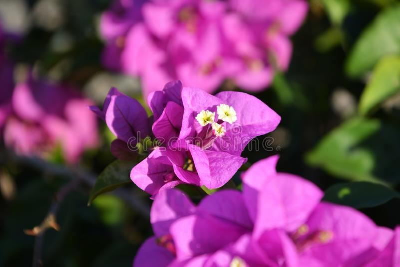 Flor rosada del bougainvillea foto de archivo libre de regalías