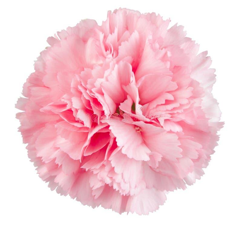 Flor rosada del clavel fotos de archivo libres de regalías