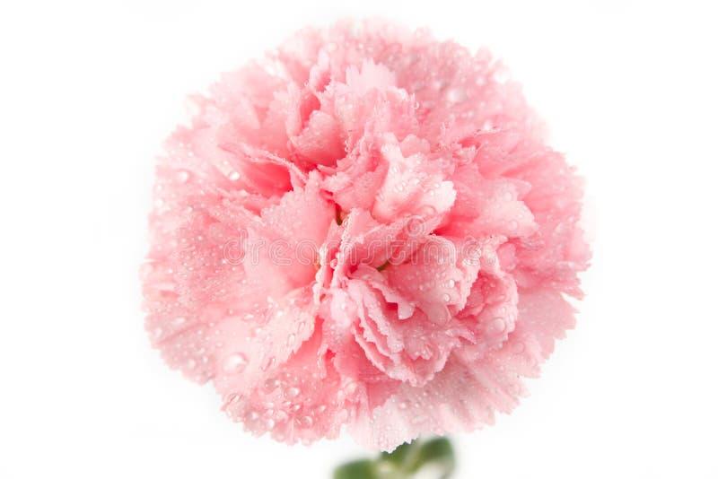 Flor rosada del clavel con descenso del agua fotografía de archivo libre de regalías