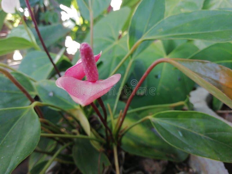Flor rosada del color imagenes de archivo