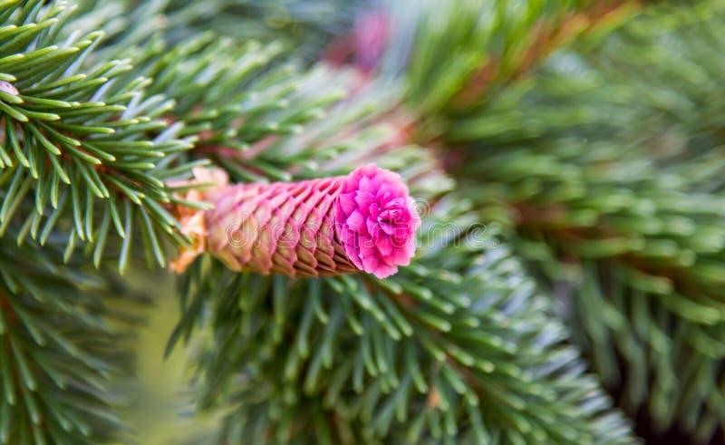 Flor rosada del cono del pino imagen de archivo