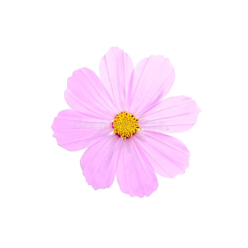 Flor rosada del cosmos imagen de archivo