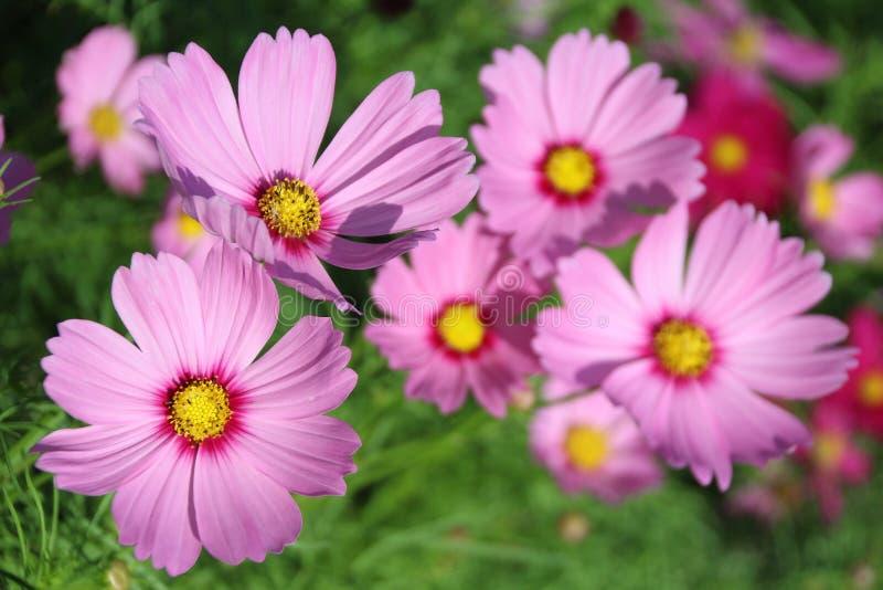 Flor rosada del cosmos fotografía de archivo libre de regalías