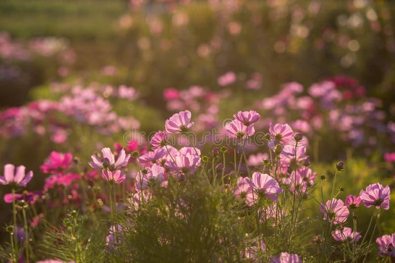 Flor rosada del cosmos fotografía de archivo