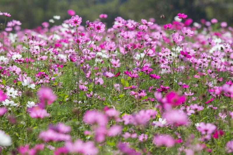 Flor rosada del cosmos fotos de archivo