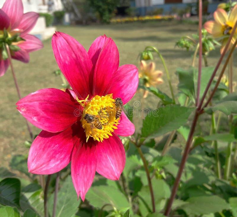 Flor rosada del cosmos con las abejas imagenes de archivo