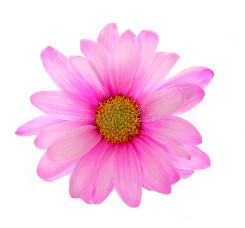 Flor rosada del crisantemo aislada imagenes de archivo