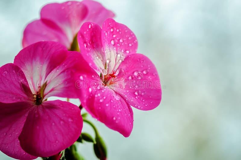 Flor rosada del geranio con descensos del rocío o del agua en los pétalos Primer de plantas interiores en un fondo ligero imágenes de archivo libres de regalías