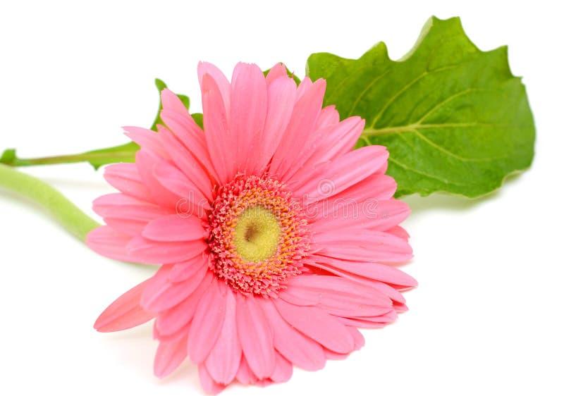 Flor rosada del Gerbera fotografía de archivo libre de regalías