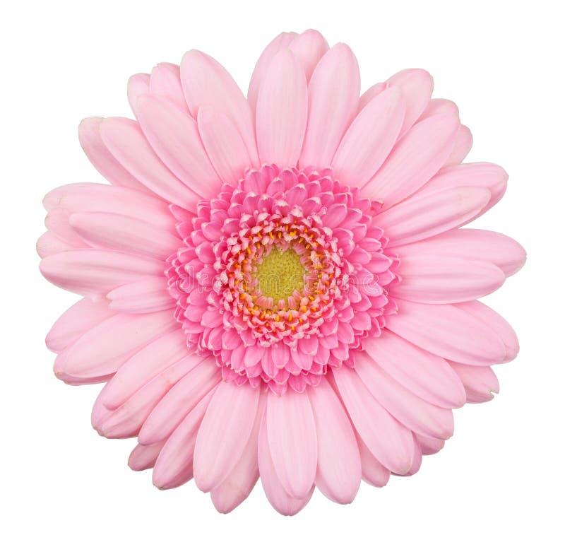 Flor rosada del gerbera aislada fotos de archivo libres de regalías