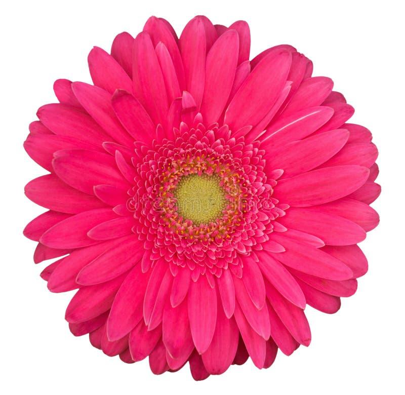 Flor rosada del gerbera aislada en el fondo blanco fotos de archivo libres de regalías