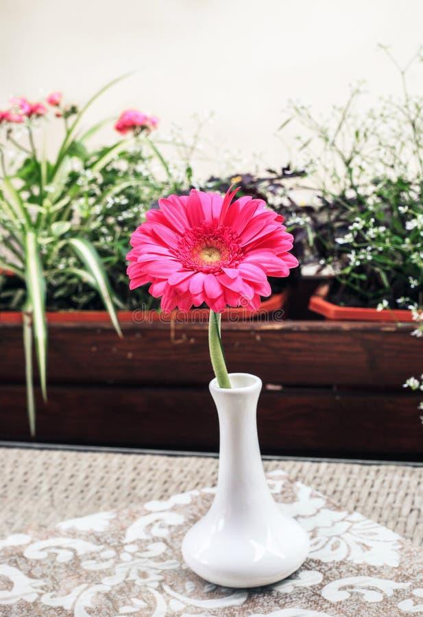 Flor rosada del Gerbera en pequeño florero blanco en la tabla fotos de archivo libres de regalías