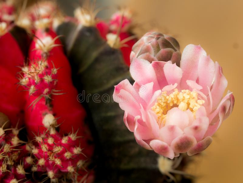 Flor rosada del Gymnocalycium rayado de Brown del rojo imagen de archivo libre de regalías