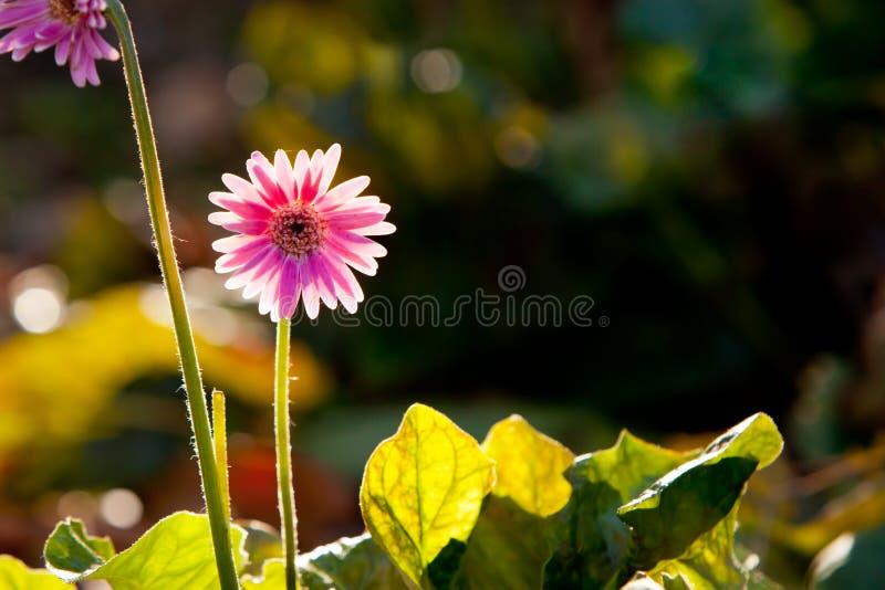 Flor rosada del híbrido del jamesonii del Gerbera del Asteraceae - Everlas fotos de archivo