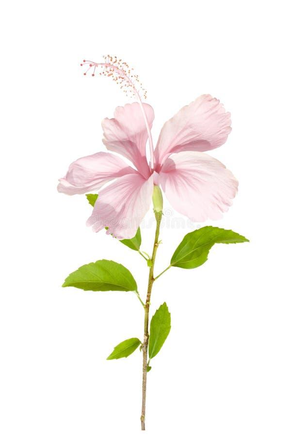 Flor rosada del hibisco con follaje en luz del sol fotos de archivo libres de regalías