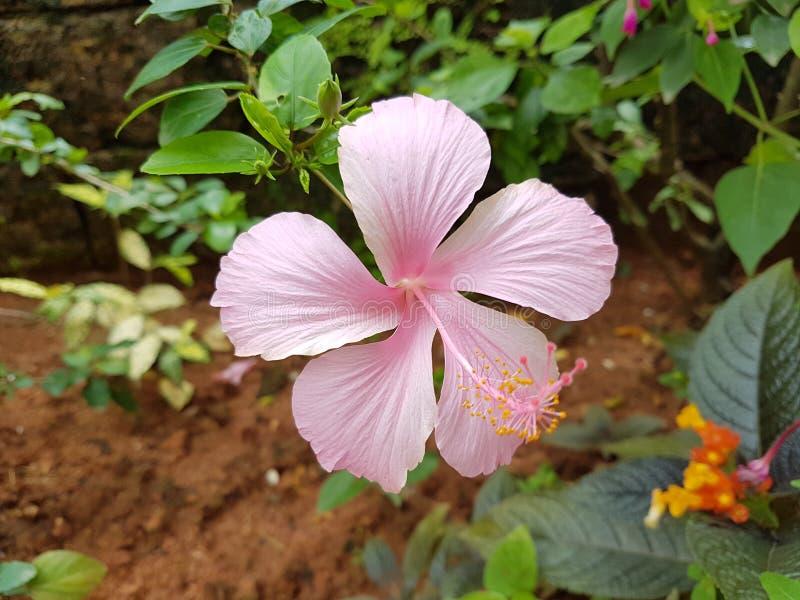 Flor rosada del hibisco en el jard?n fotos de archivo