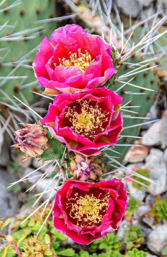 Flor rosada del humifusa de la Opuntia, s-lengua Limba Soacrei del ` del diablo, imágenes de archivo libres de regalías