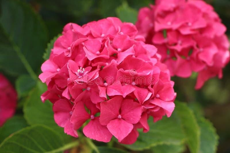 Flor rosada del hydrangea foto de archivo