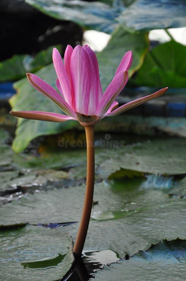 Flor rosada del lirio de agua imágenes de archivo libres de regalías
