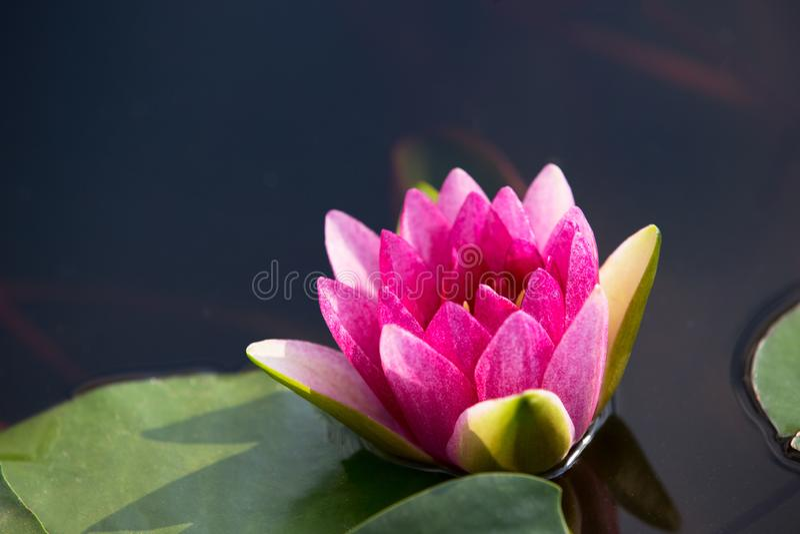 Flor rosada del lirio de agua con los estambres amarillos imagen de archivo