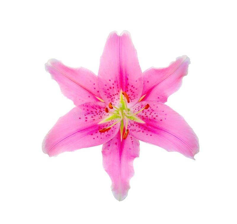 Flor rosada del lirio en el fondo blanco foto de archivo libre de regalías