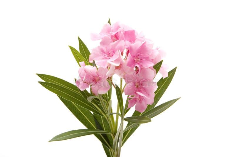 Flor rosada del oleander en blanco foto de archivo