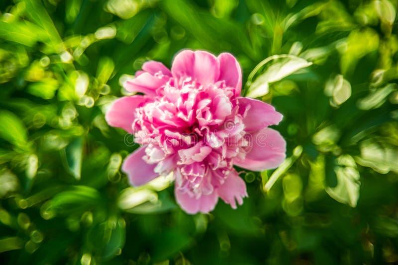Flor rosada del peony imagen de archivo
