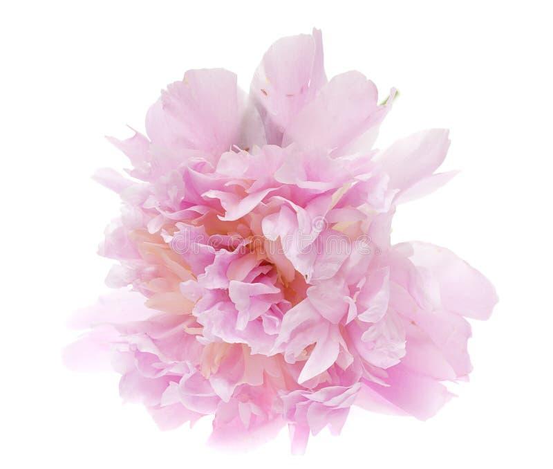 Flor rosada del peony aislada en blanco foto de archivo