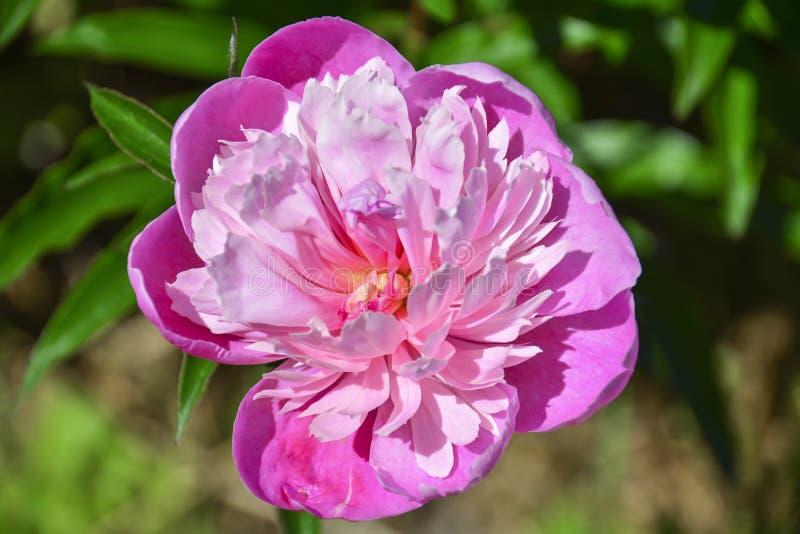 Flor rosada del peony Y bokeh hermoso de hojas verdes fotos de archivo libres de regalías