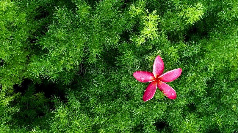 Flor rosada del Plumeria imagenes de archivo