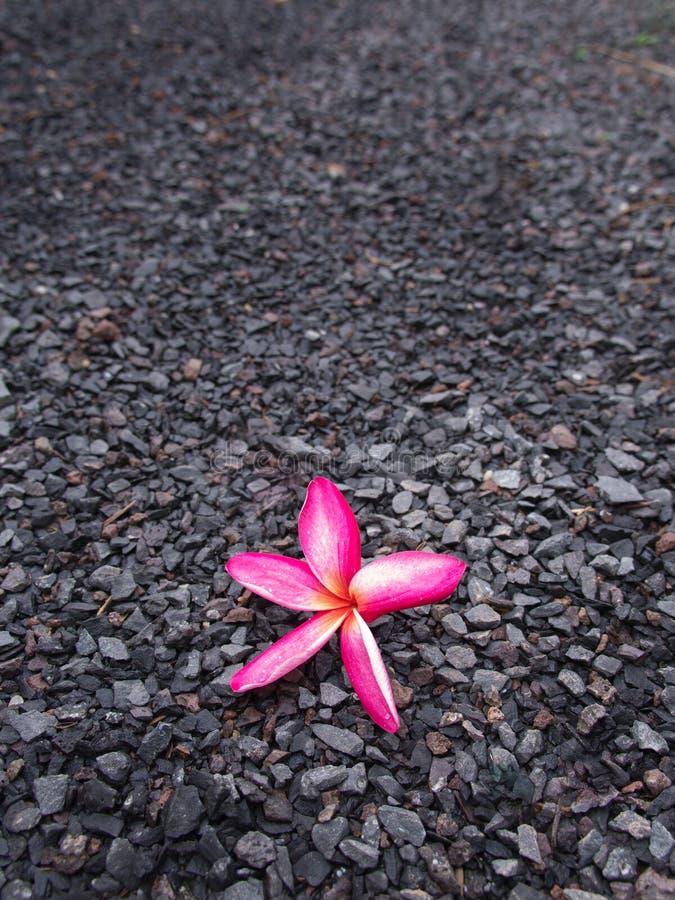 Flor rosada del Plumeria en el piso de piedra fotografía de archivo libre de regalías