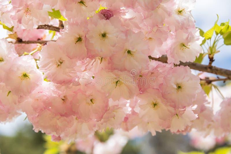Flor rosada del primer imagenes de archivo